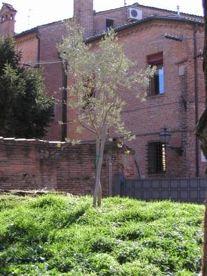 L'Ulivo nel giardino di IUSS